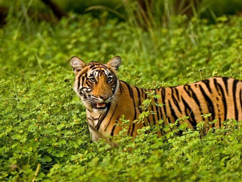 For nearly two years, the cubs stayed with their mother around the area near the lakes, one of the prettiest habitats of Ranthambhore national park. While T-17 started carving out her own territory by the end of 2007, T-18 and Krishna (in photo), stayed on with their mother till the end of summer 2008.  (Aditya Dicky Singh)