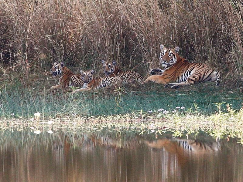 Under threat: Though the numbers have been increasing, we cannot be complacent. The world has lost 97% of all wild tigers in a bit over 100 years. (SANTOSH HARHARE/HT PHOTO)