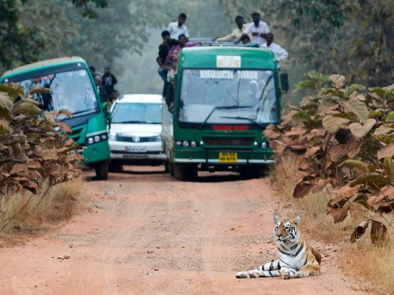 A regal lady: Agog tourists watch as tigress Maya reclines on the road in the jungle of Tadoba National Park near Nagpur. Many tigers have gone missing from major national parks, fuelling fears over poaching and threat to their natural habitat.  (SANTOSH HARHARE/HT PHOTO)