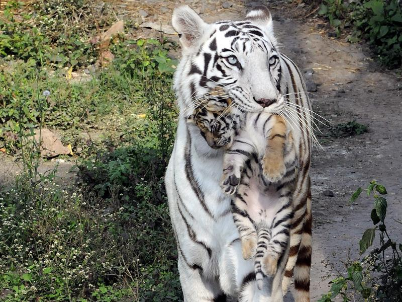 Tough love: A white tigress at the Indore zoo carries one of her three cubs. White tigers are rare, with only a hundred being found in India.  (ARUN MONDHE/HT PHOTO)