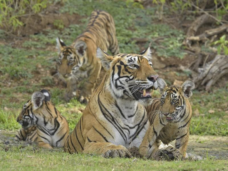 Krishna had her second litter of three cubs, two females and one male, in 2014 -- seen at a waterhole in the hot summers of Ranthambore. (Aditya Dicky Singh)