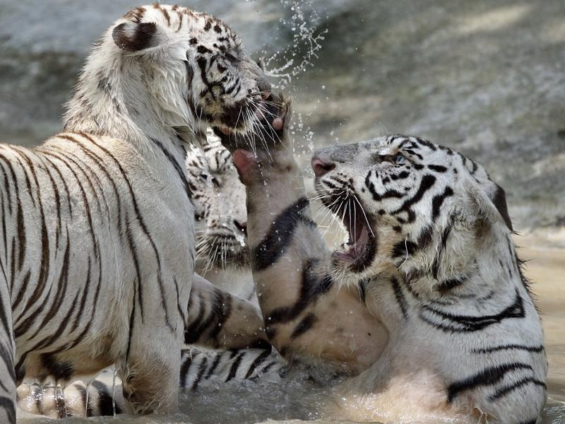 In a playful mood: The number of wild tigers has gone up globally by 22 per cent to 3,890, from the earlier 2010 estimate of 3200.  (Gurinder Osan/HT PHOTO)