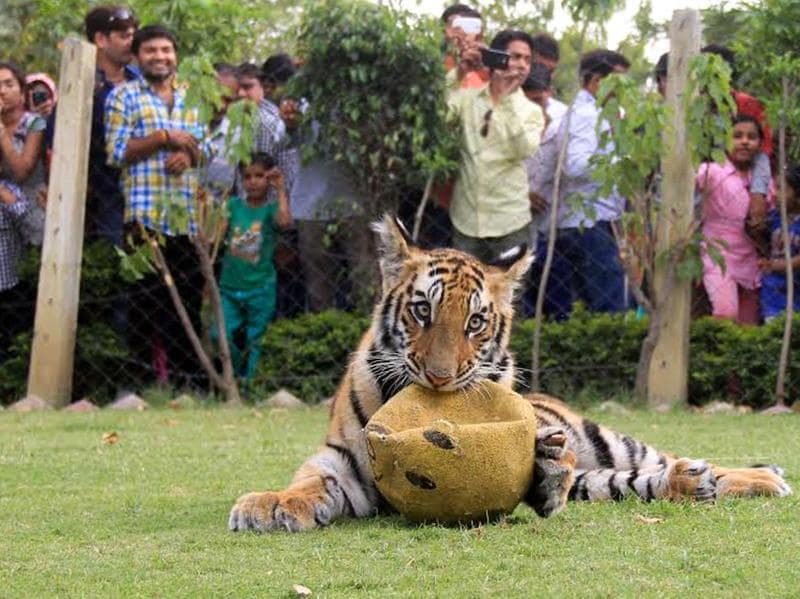 Away from the papparazzi: Most of us have only seen tigers within the confines of a zoo, but the goal of Tiger Day is to promote the protection and expansion of the habitat of wild tigers.   (ARUN MONDHE/HT PHOTO)