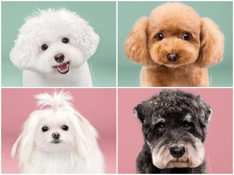 "The Internet is full of human makeovers — they've even got their own dedicated day on Instagram — but animal transformations are few and far between. But one LA-based pet photographer, Grace Chon, documented eight pooches before and after a trip to the groomers. And the results? They're ""cute on steroids,"" Chon wrote on Bored Panda, and it's hard to disagree. Proof ahead. (Instagram)"