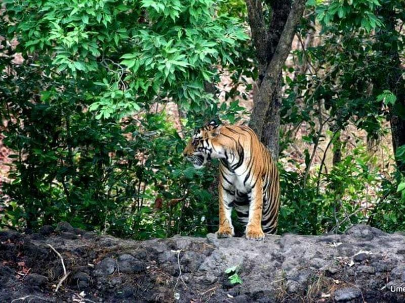 (Kalua, named so because of the black shade of his fur, is another favourite at the Bandhavgarh tiger reserve.)
