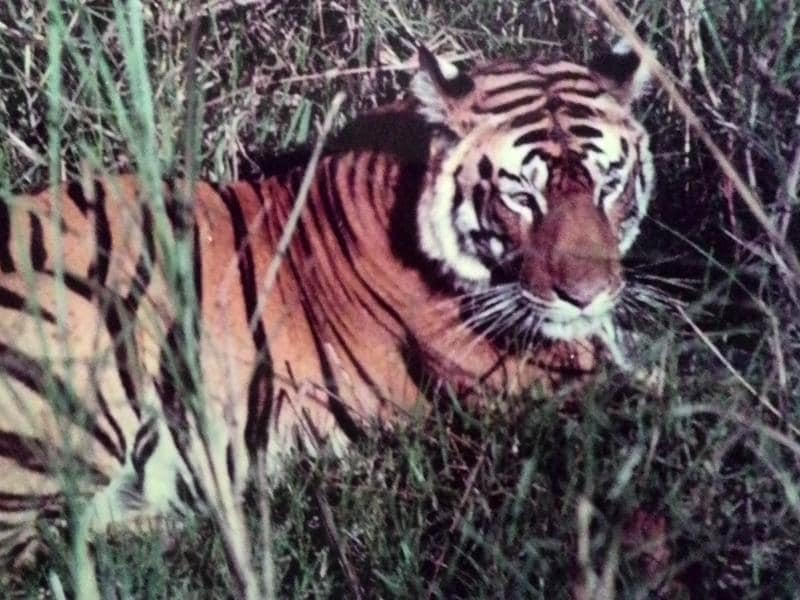 Bandhavgarh tiger reserve has had had its share of popular tigers and Sita was was one of the most pictured tigress of Madhya Pradesh. She was on the poster of state tourism department for almost a decade. She was less ferocious than other tigers and was known for her love for her cubs.