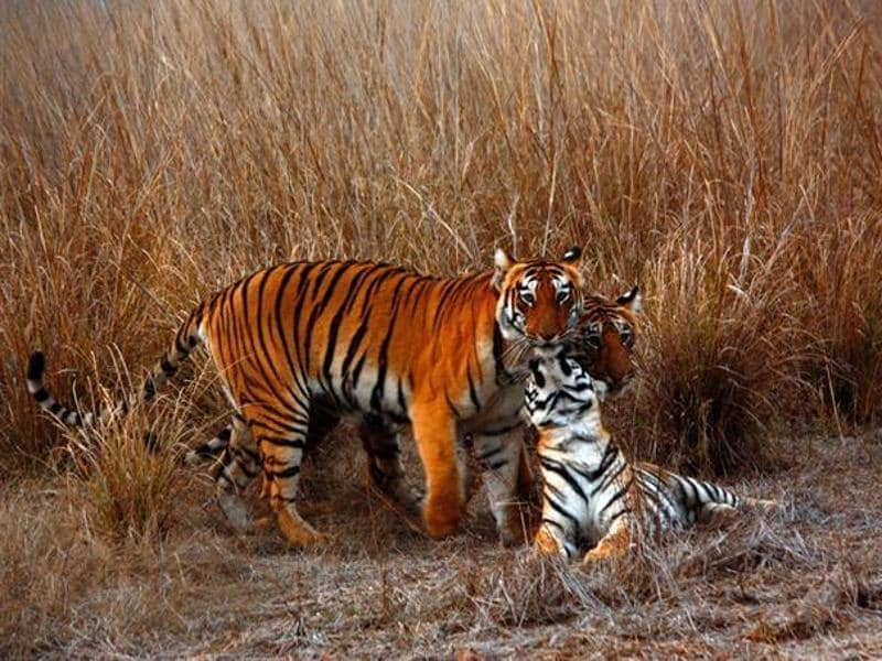 Chhoti Tara is amongst the stars at Tadoba Andhari Tiger Reserve. Seen here with cubs.