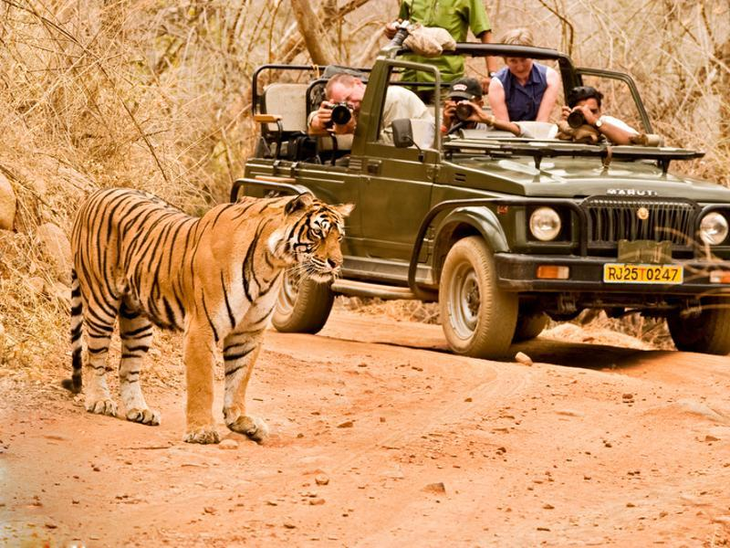 The 19-year-old tigress was one of the most photographed in the world. Tourist sighted her often on the forest tracks of Ranthambore national park and she renewed Ranthambhore's success story. (Aditya 'Dicky' Singh)