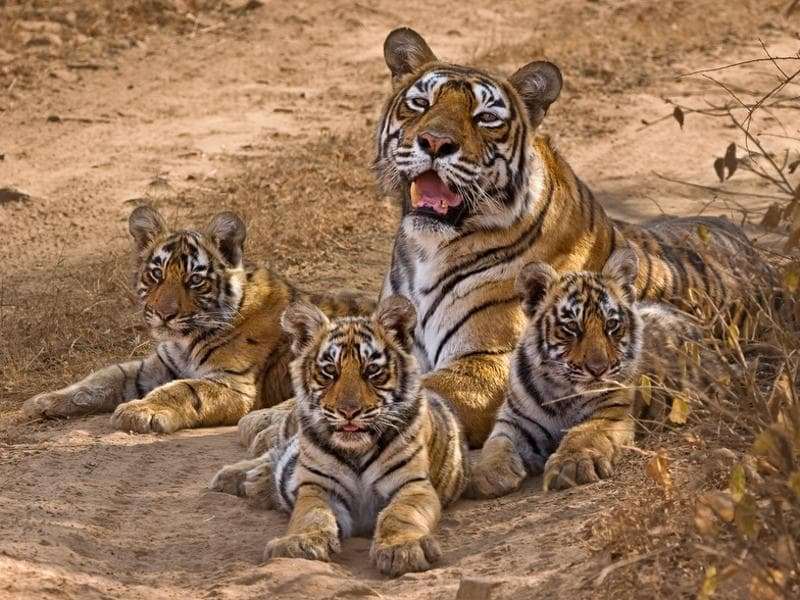 Machhli  gave birth to eleven cubs. Krishna or T-19 (middle) was one of the three sisters born in 2006. This was last of the four litters Machali had. (Aditya 'Dicky' Singh)