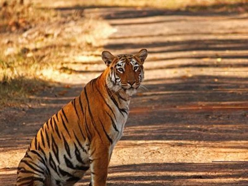 Maya, the tigress of Tadoba-Andhari Tiger Reserve, has been popular with photographers as she is seen in many parts of the forest. Her presence brings about 5 crore every year in revenue to the forest department.