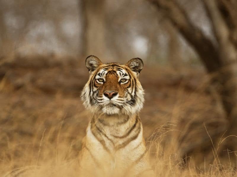 Machhli survived this crisis and her remarkable reproductive success regenerated the tiger population. (Aditya 'Dicky' Singh)
