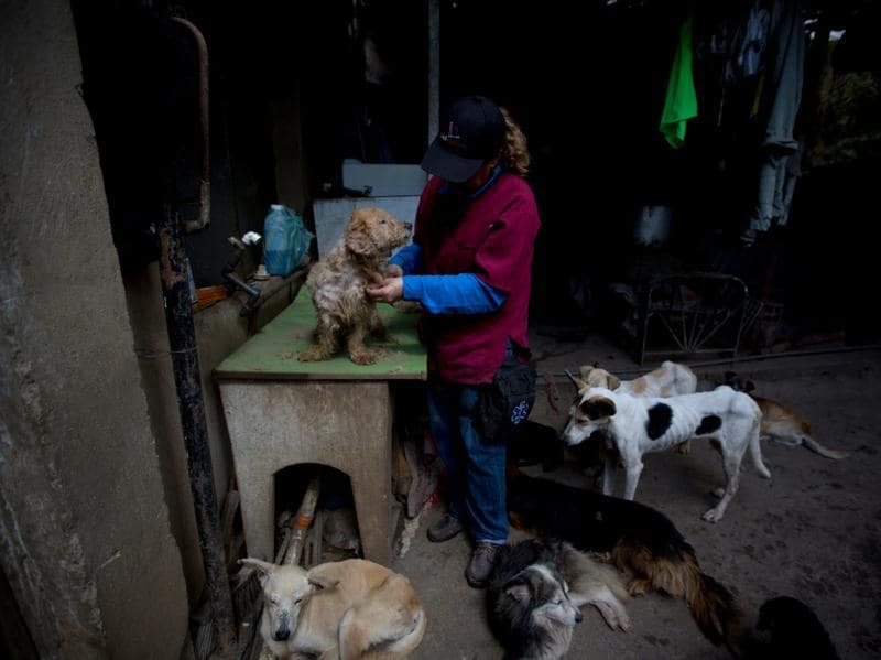 Dexis Casadiego, a veterinarian and part owner of the Funasissi animal shelter, grooms an abandoned dog. In Caracas it has become common to see purebred dogs rummaging in the trash or lying outdoors, filthy and gaunt, in posh neighbourhoods. (AP)