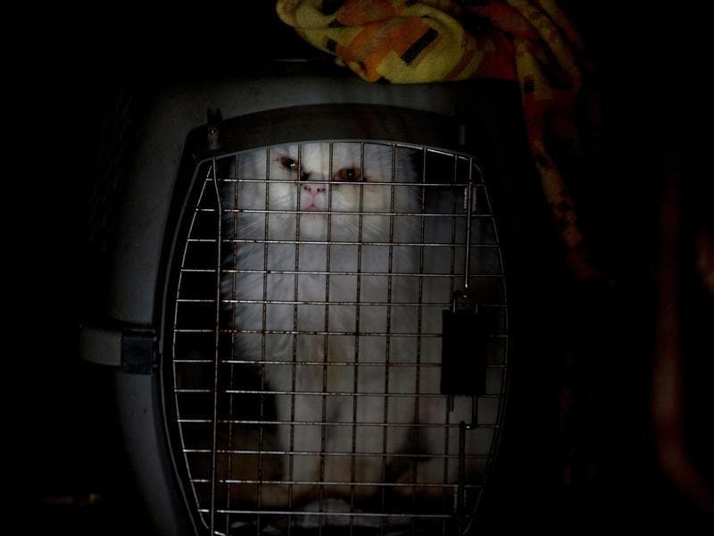A quarantined cat sits in a cage after he was rescued on the streets, abandoned by his owners.  (AP)