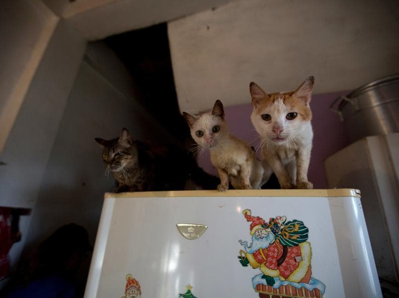 Three rescued cats watch from the top of a fridge as their food is prepared at the private shelter. The economic crisis that is leading to widespread shortages and hunger among Venezuelans is also taking its toll on the country's four-footed inhabitants.  (AP)