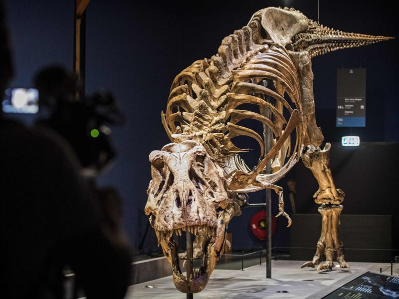 The skeleton of a tyrannosaurus named Trix installed at the Naturalis Museum of Leiden in Netherlands on Friday as part of the exhibition 'T rex in Town.' (AFP)