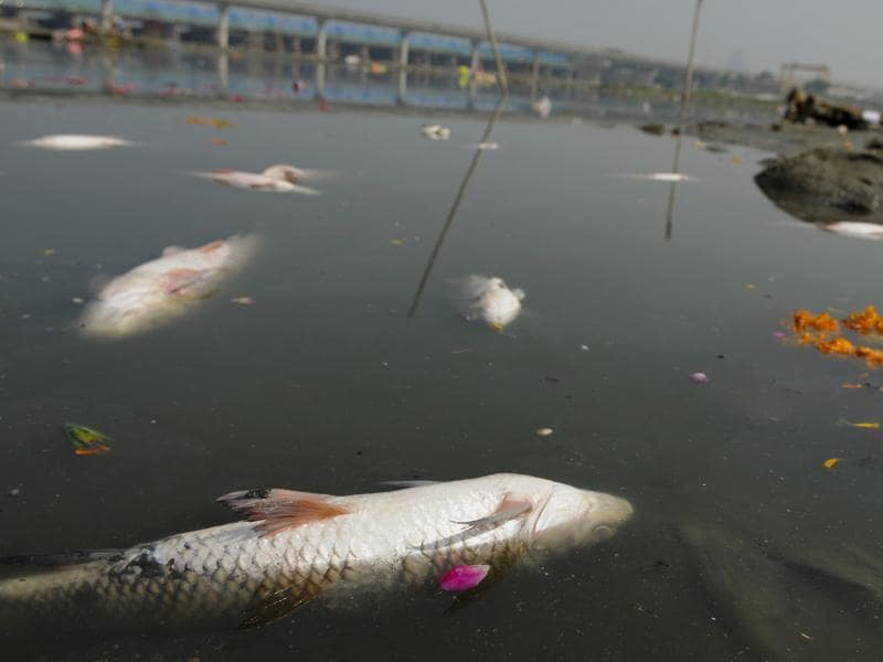 Dead fish, possibly poisoned by the chemicals in the water, float on the surface of the Yamuna near a prayer site for the festivities.  (Burhaan Kinu/HT PHOTO)