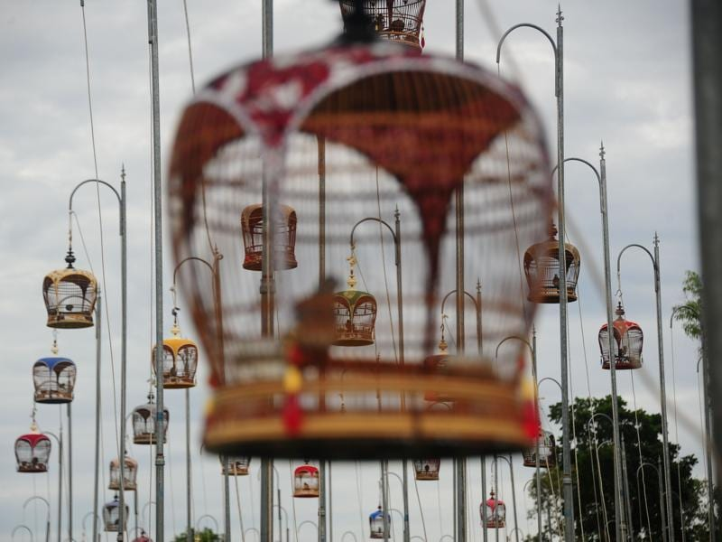 This year more than 1000 birds took part in the competition, with enthusiasts travelling from all over Thailand, Malaysia and Singapore to take part.  Birds sit in their cages hoisted on poles. (AFP)