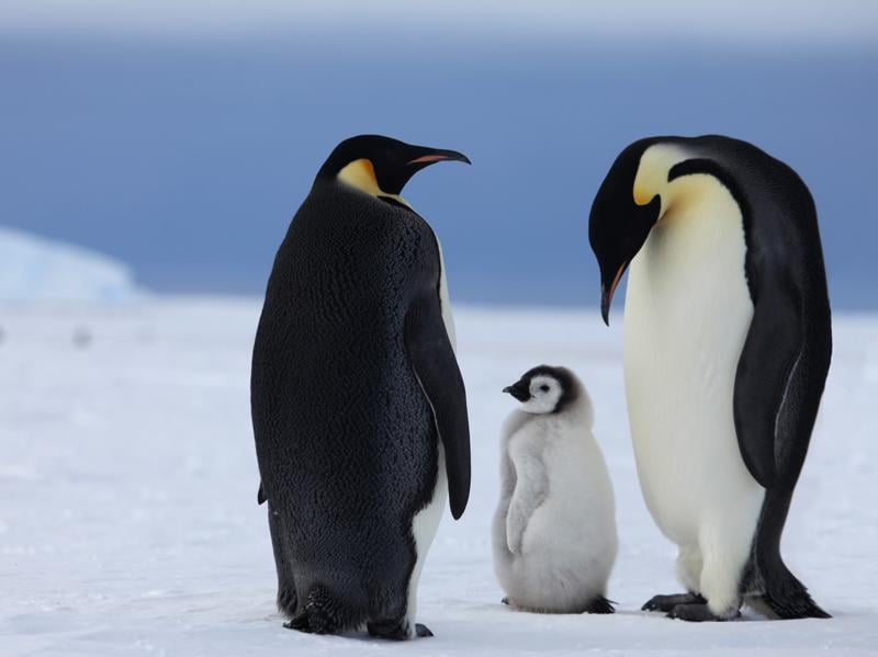Guests can get up close to Emperor penguins in the wild as part of their stay. (AFP)