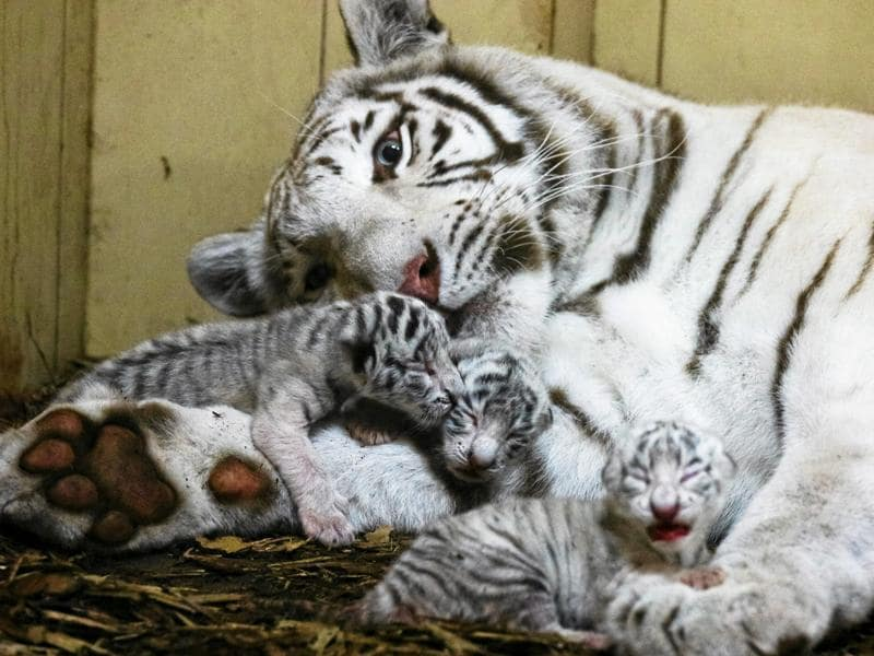Newborn white Bengal tiger cubs lie in a private zoo in Borysew near Lodz, Poland, on September 22, 2016.   (REUTERS)