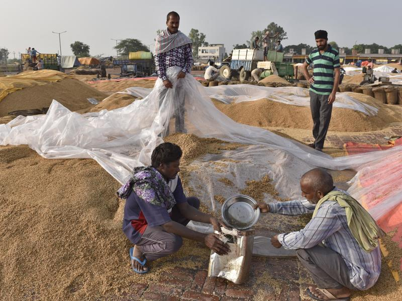Workers removing rainwater from paddy in the Attari village grain market, 25km from Amritsar, on Wednesday, October 5. (Gurpreet Singh/HT Photo)