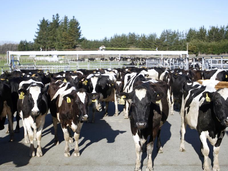 Cows stand in a pen before they are milked on a dairy farm near Carterton, New Zealand. In New Zealand there are twice as many cows as people, but it's the hobbits that are really making hay. According to figures released Wednesday, Oct. 26, 2016, tourism has overtaken dairy as the nation's top earner of overseas dollars. And tourism officials say the success of the fantasy movie trilogy The Hobbit has helped.  (AP)
