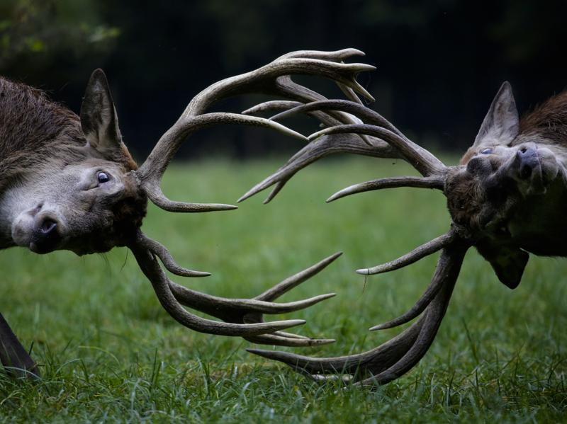 Red deer point their antlers towards each other as they fight during rutting season at a wildlife park on a fall day in Bonn, western Germany. (AP Photo)