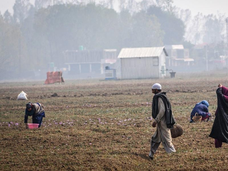 Cultivators picking saffron flowers in pampore, Kashmir, India. (Waseem Andrabi/ HT Photo)