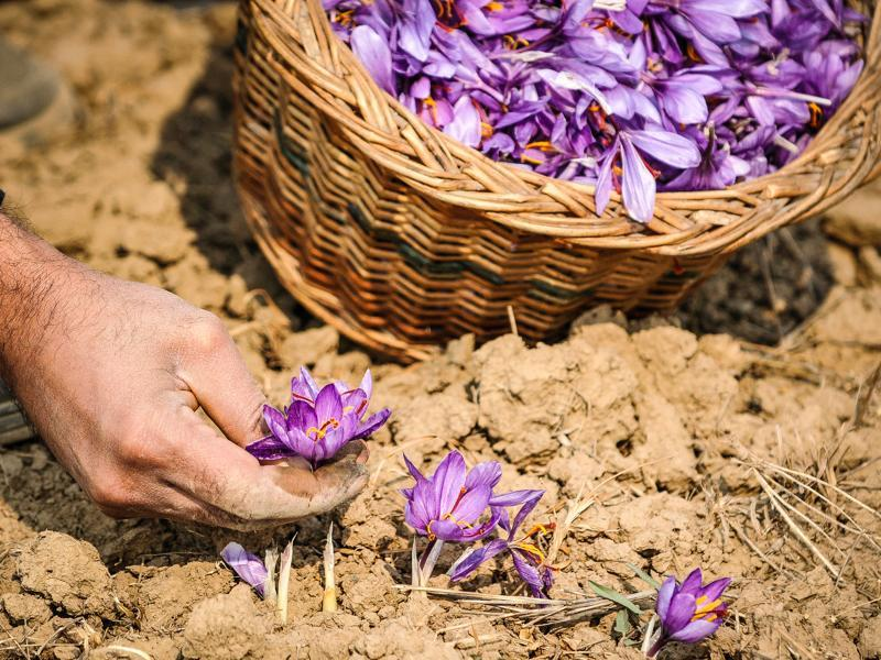 Cultivator picks saffron flowers from field in Pampore, Kashmir, India. (Waseem Andrabi/ HT Photo)