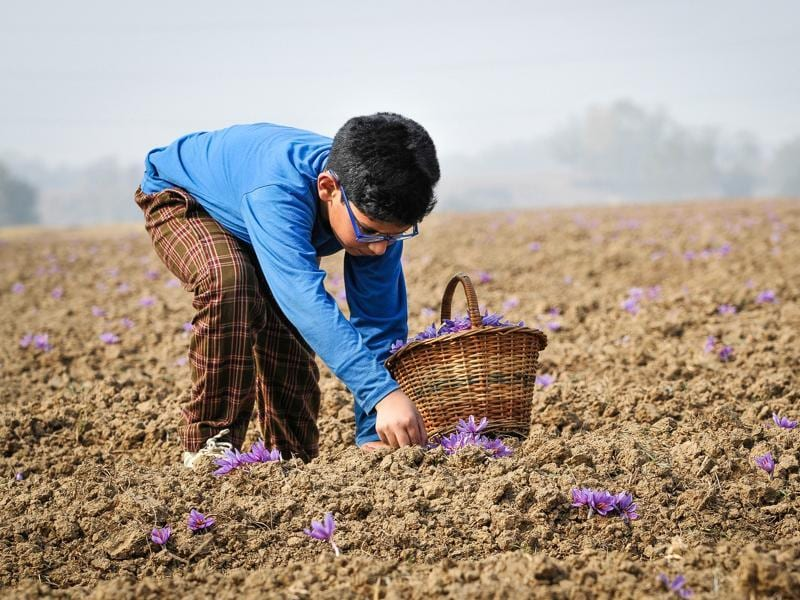 A boy picks saffron flowers from a saffron field in Pampore, Kashmir, India. (Waseem Andrabi/ HT Photo)