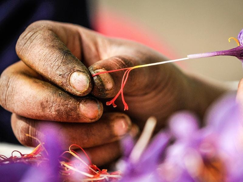 A cultivator plucks saffron from  flowers in Pampore, Kashmir, India. (Waseem Andrabi/ HT Photo)