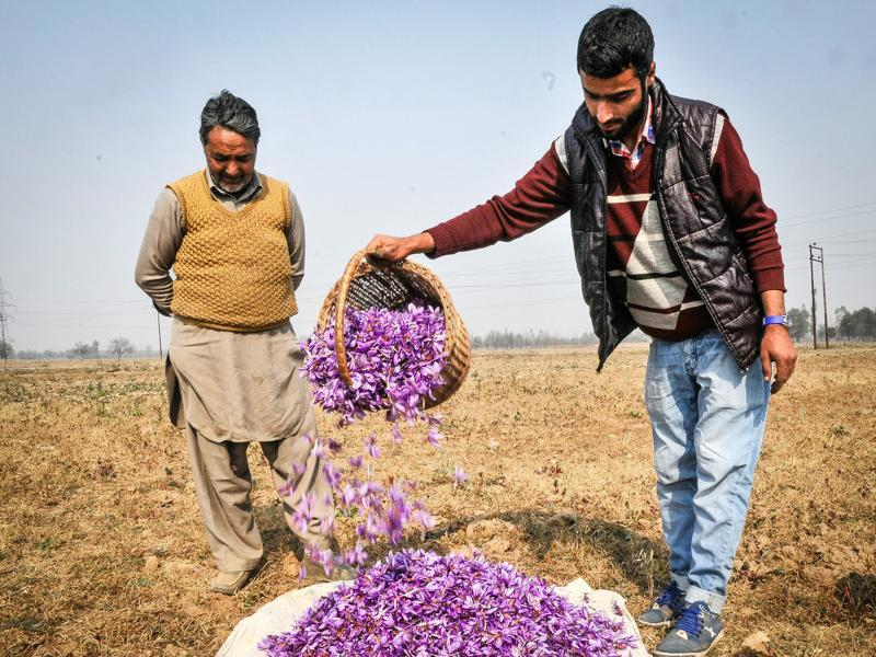 Cultivators empty their baskets on a heap of saffron flowers in Pampore, Kashmir, India. (Waseem Andrabi/ HT Photo)