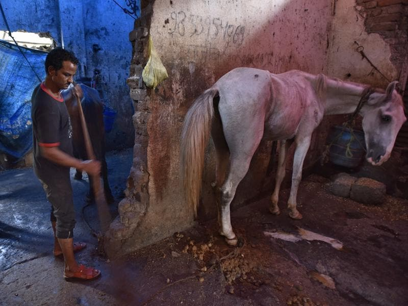 "Basheer Sheikh, 32, is in charge of cleaning up his stable on P D'Mello Road, and taking care of his horse Bijlee. ""I have no idea how my life is going to change now."" The court order came after an animal rights groups filed a petition saying the horses were denied adequate rest and kept in poor conditions.  (Vijayanand Gupta/HT PHOTO)"