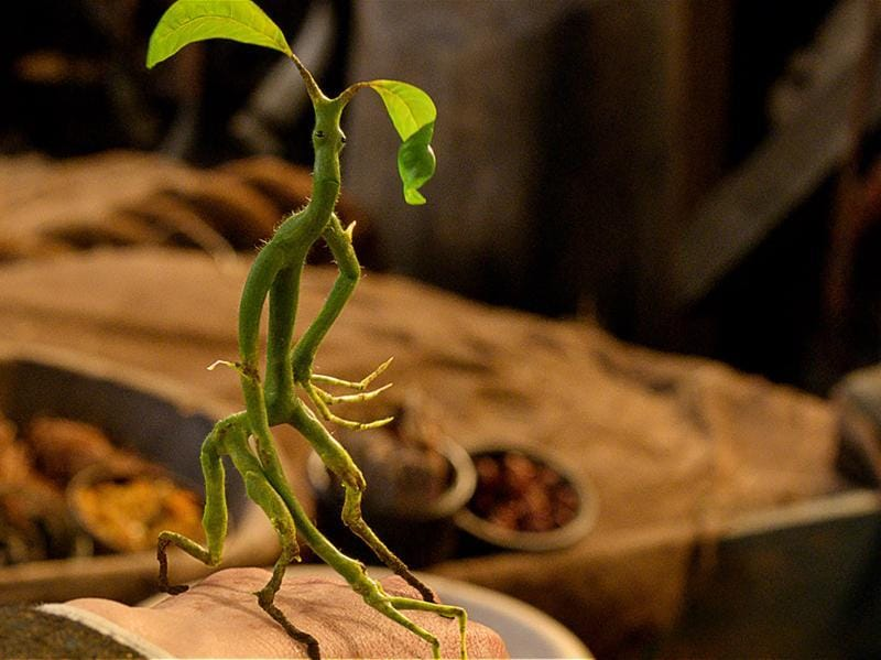 The Bowtruckle, which eats insects, is a peaceable and intensely shy creature but if the tree in which it lives is threatened, it has been known to leap down upon the woodcutter or tree-surgeon attempting to harm its home and gouge at their eyes with its long, sharp fingers.  (Pottermore)