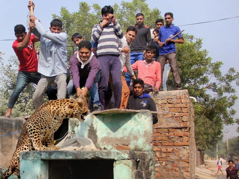 Panicked villagers attack a leopard that ran amok on the streets of Mandawar village near Gurugram, Haryana, on November 24, 2016. The big cat was eventually beaten to death.  Animal-human conflicts have become increasingly common  as human activity expands into vegetative lands, the natural habitat for many animals. (PTI)