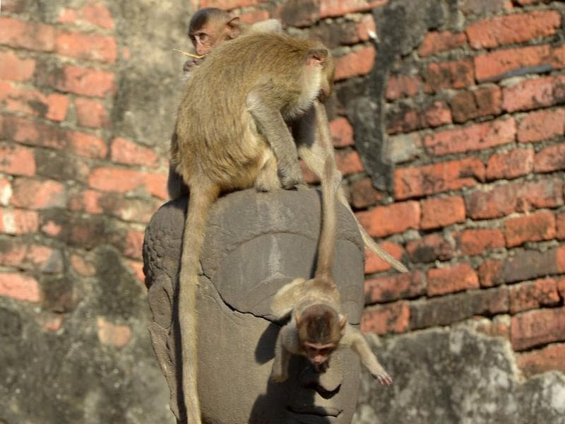 Monkeys climb up a Buddha statue during the annual