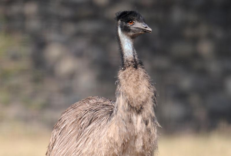 BEAKY: Emu poses for the picture (Anil Dayal/HT Photo)