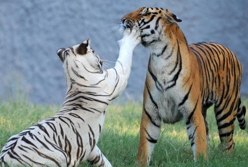 Diya, a white tiger and Aman, a Royal Bengal tiger, caught in a playful moment at the Chhatbir Zoo on Thursday. (Anil Dayal/HT Photo)
