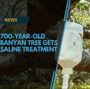 700-year-old banyan tree gets saline treatment