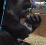 Critically endangered baby gorilla born at National Zoo