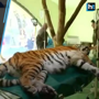 Siberian tiger in Hungary gets the first stem cell treatment
