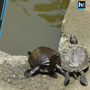 65 exotic turtles have made 122-year-old pond at Mumbai's Juhu temple their...