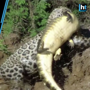 Jaguar Dives into River to Catch Alligator