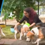Watch: Captive beagles rescued after eight years from Pune pharma lab