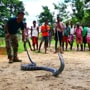 Cobra, 14-foot-long, spotted in Assam. Pics will make you very uncomfortable