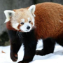 Red pandas fitted with radio collars to be released for captive breeding