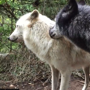 Wolf grooms another to reaffirm emotional bond. Watch
