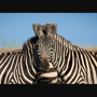 People try guessing which zebra is standing in front in this picture