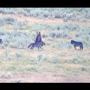Mother grizzly bear protects her cubs against pack of wolves. Watch
