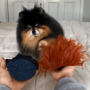 Dog named Mocha Pom chooses her own Chucky costume, video is super cute