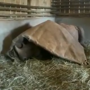 Orphan rhino refuses to sleep without his blankie. Video may leave you misty-eyed